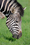 Zebra Feeding stock photography