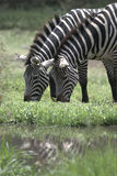 Zebra feeding Royalty Free Stock Image