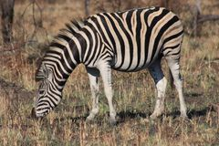 Zebra Feeding Royalty Free Stock Photos