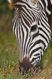 Zebra Feeding Stock Images