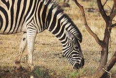 Zebra feeding. African zebra feeding in savanna. Close up picture Royalty Free Stock Photo