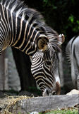 Zebra Feeding. Zebra bending to feed at the National Zoo in Washington D.C Royalty Free Stock Images