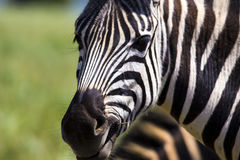 Zebra Feeding Stock Photos