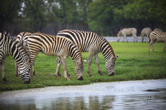 Zebra feeding in green grass field use for safari wildlife theme Royalty Free Stock Photography
