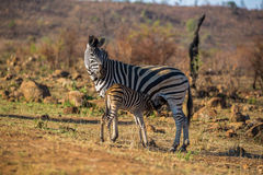 Zebra feeding her baby Stock Photo