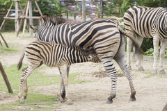 Zebra feeding its foal Royalty Free Stock Photos