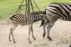 Zebra feeding its foal Royalty Free Stock Images