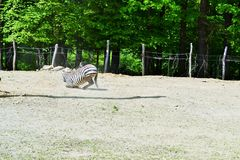 Zebra. Feeding in nature.Wild animals before camera Royalty Free Stock Photos