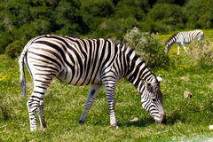 Zebra. Zebra feeding in a South African safari park Royalty Free Stock Photo