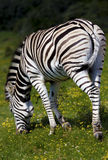 Zebra. Zebra feeding in a South African safari park Stock Image