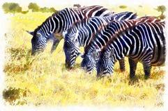 Zebra feeding in wildlife nature Tanzania Africa. Zebra feeding in wildlife nature park Tanzania Africa Royalty Free Stock Photography