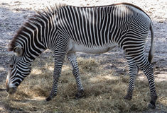 Zebra Feeding at Zoo Stock Photos