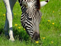 Zebra feeds on a field of flowers Stock Photos