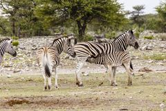 Zebra, females with foals royalty free stock photography