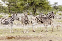 Zebra, females with foals stock image