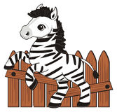 Zebra and fence. Little zebra stand near the brown fence and watch Royalty Free Stock Photos