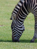 Zebra on the field Royalty Free Stock Images