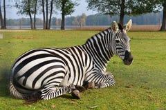 Zebra in field Stock Photo