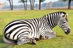 Zebra in field Stock Image