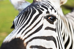 Zebra in field Royalty Free Stock Images