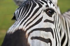 Zebra in field Royalty Free Stock Photo