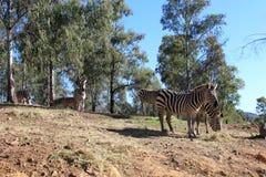 Zebra in field Stock Images
