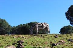 Zebra in field Royalty Free Stock Photos