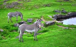 Zebra in Field. Zebras grazing in a field Royalty Free Stock Photography
