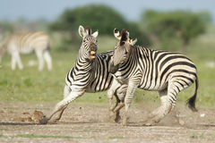 Zebra Fight Stock Photo