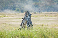 Zebra Fight Royalty Free Stock Photos