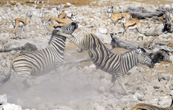Zebra fighting Stock Images