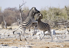 Zebra fighting Royalty Free Stock Photography