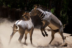 Zebra fighting Stock Image