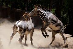 Zebra fighting Stock Image