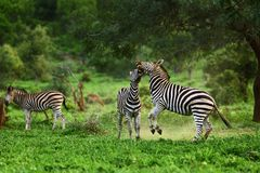 Zebra fighting for dominance. Stallion zebra`s engage into a territorial fight during summer. Equus quagga Stock Images