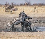Zebra Fighting Stock Photography