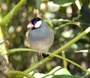 Zebra finch. Perched on a branch - shallow depth of field Stock Photos