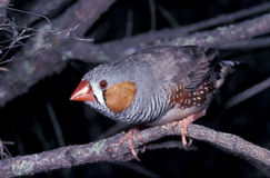 Zebra finch. Close view of a zebra finch in the wild Stock Photography