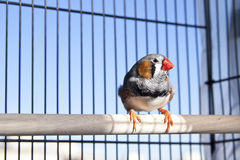 Zebra finch. In a cage against blu sky Royalty Free Stock Photos
