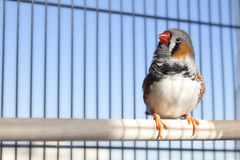 Zebra finch. In a cage against blue sky Royalty Free Stock Images