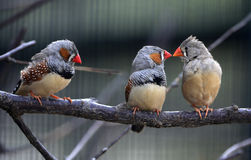 Zebra Finch. Is in the tropical forest bird, at present for many countries of the world watch birds breeding Royalty Free Stock Photo