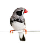 Zebra Finch Royalty Free Stock Photo