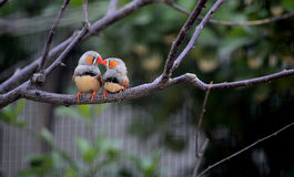 Zebra Finch Royalty Free Stock Images