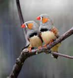 Zebra Finch. Is in the tropical forest bird, at present for many countries of the world watch birds breeding Stock Photos