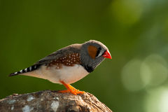 Zebra finch. Home kind of bird is very small and fast Royalty Free Stock Photos