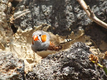 Zebra Finch Royalty Free Stock Photos