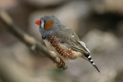 Zebra finch. On a branch Stock Images