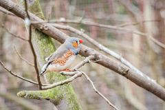 Zebra finch in an aviary Stock Images