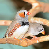 Zebra finch bird Stock Photography