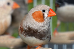 Zebra-finch bird in cage Stock Image